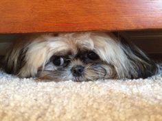 Such a cute little shih tzu puppy ❤️❤️