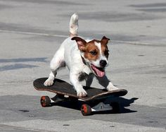 Skate boarding Jack Russell. What a cutie! More