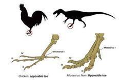 Forscher züchten Hühnern Dino-Kralle zurück . . . http://www.grenzwissenschaft-aktuell.de/forscher-zuechten-huehnern-dino-kralle-zurueck20150526 . . . Abb.: Botelho et al.