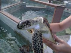 Love Grand Cayman and the #seaturtle farm that we visited on our #cruise