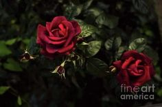 Roses Art Print by Cotfas Doina. All prints are professionally printed, packaged, and shipped within 3 - 4 business days. White Roses, Red Roses, Ann Street Studio, Flying With A Baby, Amazing Red, Rose Art, All Print, Art Photography, Frame