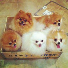Poms in a box