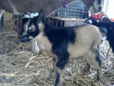 Susurrare Salix Guinevere - Nigerian Dwarf Goat owned by Susurrare Salix (Whispering Willow)