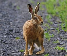 Rabbit Sculpture, Jack Rabbit, Forest Creatures, Woodland Animals, Wildlife Photography, Amazing Nature, Animal Drawings, Animals And Pets, Bunny