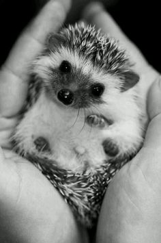 herisson_chou_cute_little_hedgehog