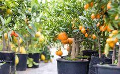 Si, se puede tener naranjas, limones y mandarinas en una maceta, mira como lograrlo