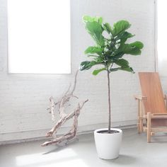 Fig tree potted white Classico planter