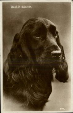 Dog Cocker Spaniel Real Photo Postcard  1950s. No short snout.
