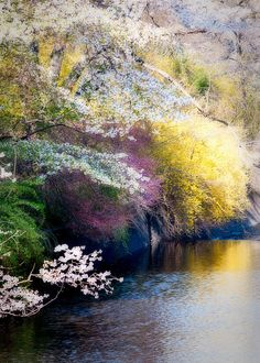 Spring's Golden Reflections - cherry blossoms and other flowering bushes in Branch Brook Park, Essex County, New Jersey