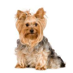 Australian Silky Terrier like Merrylegs