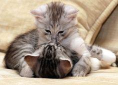images+of+kittens   kittens kiss category animals size 2834 x 2048 keywords kittens kiss ...