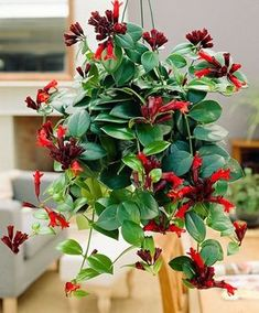 10 Hard to Kill Hanging Plants That'll Make Your Home Look Amazing – Lipstick Plantlipstick plant in full sun - Lipstick plant is one of the best plant for your home. Anyway, i have write complete information about this topic.Pergolas For Sale Ch Flowering House Plants, Flowering Trees, Deer Resistant Perennials, Lipstick Plant, Long Blooming Perennials, Air Cleaning Plants, Flower Pot Design, Inside Garden, Pot Plante