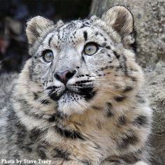 Wide-eyed and beautiful, this snow leopard looks into the distance.