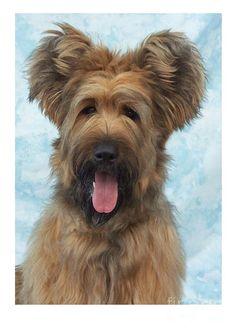 Briard dog breed. A little Alf. A little George Clinton. All adorable.