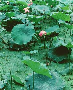 Eliot Porter. Lotus in West Lake, Hangzhou, China, July 14, 1980