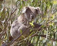 El Koala Informacion Caracteristicas Habitat Alimentacion Ciclo de Vida