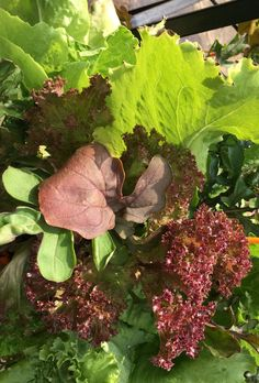 Autumn into early winter is the time to refresh the #FoodGarden or even plant up some new containers of veggies and greens to boost your kitchen garden over the coming months