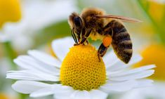 2 per cent of wild bee species now account for 80 per cent of global crop pollination Wild Bees, I Love Bees, Bees And Wasps, Bee Friendly, Bee Art, Busy Bee, Save The Bees, Bee Keeping, Hummingbirds