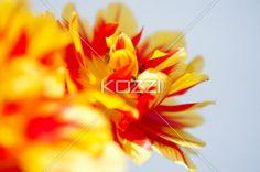 Curled Tulip Petals - Curled tulip petals agasint a solid background