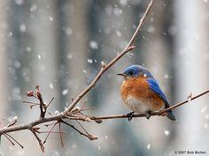 Male Eastern Bluebird by Bob Mullen. One of my favorite feathered friends. www.pbase.com/...
