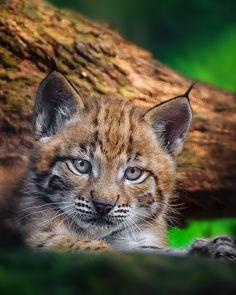 Lynx Kitten by Naturfotografie - Stefan Betz