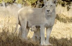 Rare white lion and her cub