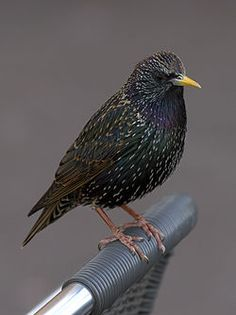 Common Starling - we have lots of these in the summer