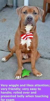 TO BE DESTROYED 12-7-15!!!! PLEASE SHARE AND SAVE MEGA Brooklyn Center MEGA – A1058684 MALE, BROWN, AMERICAN STAFF MIX, 1 yr STRAY – STRAY WAIT, NO HOLD Reason STRAY Intake condition EXAM REQ Intake Date 11/22/2015 http://nycdogs.urgentpodr.org/mega-a1058684/
