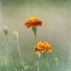 Title  Marigold Fancy   Artist  Kim Hojnacki   Medium  Photograph - Photography