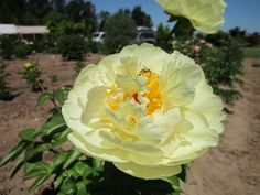 Peony Lemon Chiffon. Stunning. Big. Fluffy. Fragrant. Plant one this Fall.