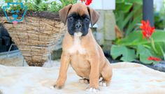 Cooper | Boxer Puppy For Sale | Keystone Puppies Boxer Puppies For Sale, Fish For Sale, Pet Fish, Design Development, Super Cute, Pets, Animals, Animales, Animaux
