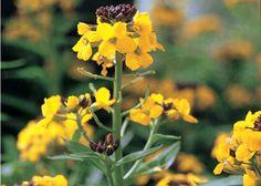 Gyldenlakken blomstrer i april-maj, og blomsterne dufter dejligt. Den har det bedst på en tør og solrig vokseplads. Sådan sår du de to-årige blomster...