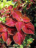 top five plants for low maintenance gardens. {i liked coleua and hosta}