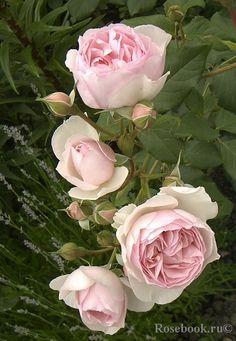 'St Cecilia' |  | English Rose. Austin - 1987