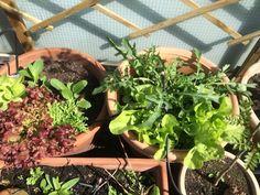 Salate im April 2016 Plants, Flora, Plant, Planting