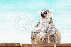 Qdiz Stock Photos | Fatty funny lemur,  #animal #background #belly #big #black #cute #fat #fatty #fin #fluffy #funny #fur #furry #lemur #lemuridae #lemurs #life #mammal #monkey #nature #primate #ring #ring-tailed #tailed #thick #turquoise #white #wild #wildlife #zoo