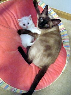 cute white kitten and siamese cuddling best friends