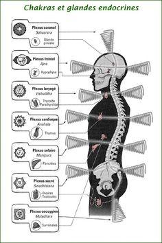 Correspondance des chakras et des glandes endocrines