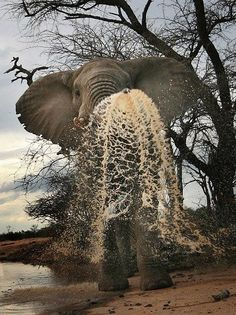 Awesome Ellie! - Elephant Making a Splash.