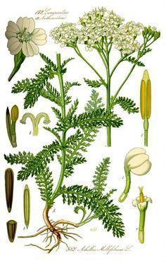 Schafgarbe, die Heilpflanze des Jahres 2004 kann bei vielen gesundheitlichen Leiden helfen. Besonders nützlich ist sie für den Kreislauf und bei Blutungen