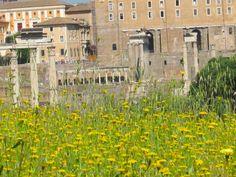 Dandelions in the Forum Romanum.