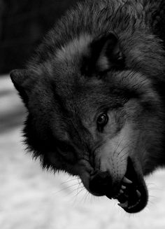 wolveswolves: Mackenzie valley wolf (Canis lupus occidentalis) by skydiver_hh Wolf Images, Wolf Photos, Wolf Pictures, Wolf Spirit, Spirit Animal, Beautiful Wolves, Animals Beautiful, Canis, Animals And Pets