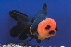 goldfish oranda blue ile ilgili görsel sonucu