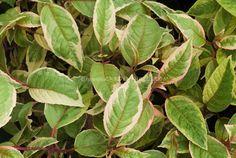 Fuchsia 'Tom West' foliage Meillez  variegated foliage