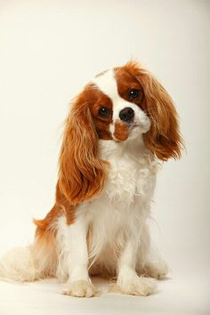Dog Behavior Cavalier King Charles Spaniel Dog Breed Information, Pictures, Characteristics King Charles Puppy, Cavalier King Charles Dog, Cavalier King Spaniel, Spaniel Breeds, Spaniel Puppies, Cocker Spaniel, Cute Dogs Breeds, Cute Dogs And Puppies, Toy Dog Breeds