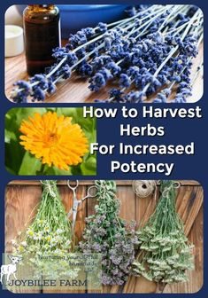 Know the right time to harvest herbs for increased potency of both medicinal herbs and kitchen herbs for optimal flavour and medicinal actions.