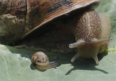 A snail (Helix Aspersa) and a baby snail sit on a leave in a farm in Vienna June 12, 2013. Andreas Gugumuck owns Vienna's largest snail farm, exporting snails, snail-caviar and snail-liver all over the world. The gourmet snails are processed using old traditional cooking techniques and some are sold locally to Austrian gourmet restaurants. (Photo by Leonhard Foeger/Reuters) http://avaxnews.net/fact/Snail_Farming_in_Austria.html