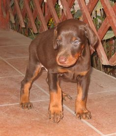 Doberman puppy. (Or any puppy for that matter) :D
