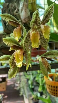 Catasetum schunkei Isn't this the stinky one that only blooms every several years?