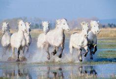 White horses of La Carmargue, France